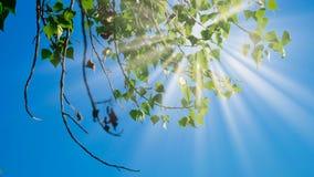Birkenzweige mit den grünen Blättern, die in den Wind vor dem Himmel sich bewegen Stockfotos