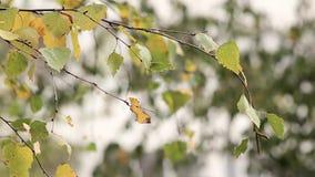 Birkenzweige mit gelbem Herbstlaub stock video