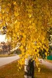 Birkenzweige mit gelben Blättern am Herbsttag Stockfotos