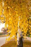 Birkenzweige mit gelben Blättern am Herbsttag Lizenzfreie Stockbilder