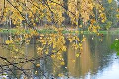 Birkenzweige mit gelben Blättern vor dem hintergrund des Flusses und des Herbstwaldes Stockbilder