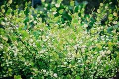 Birkenzweige mit jungen Blättern Stockbild