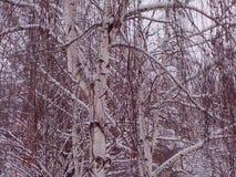 Birkenzweige umfaßt mit Schnee Stockbilder