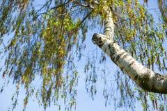 Birkenzweige und blauer Himmel Frühling und Bäume Stockfotografie