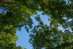 Birkenzweige und blauer Himmel Wald, Birkenwaldung Stockfoto