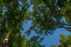 Birkenzweige und blauer Himmel Wald, Birkenwaldung Lizenzfreies Stockbild