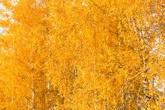 Birkenzweige voll von bunten gelben und grünen Blättern im autum Stockbilder