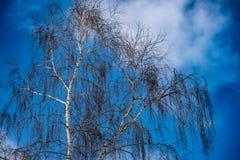 Birkenzweige von unten nach oben im Winterwald Lizenzfreies Stockbild