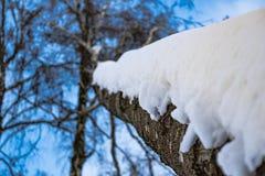Birkenzweige von unten nach oben im Winterwald Stockfotografie