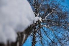 Birkenzweige von unten nach oben im Winterwald Stockbilder