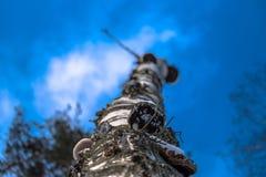 Birkenzweige von unten nach oben im Winterwald Stockfotos