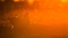 Birkhuhn, black grouse (Tetrao tetrix) Royalty Free Stock Photo