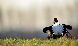 Birkhuhn, black grouse (Tetrao tetrix), Royalty Free Stock Photos