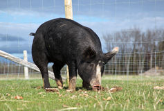 Birkshire-Schwein Stockfotos
