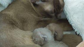 Birmański kot karmi nowonarodzone figlarki zbiory