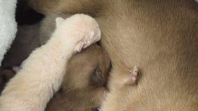 Birmański kot karmi nowonarodzone figlarki w ich gniazdeczku zbiory wideo