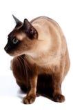 Birmański Kot Zdjęcia Stock