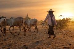Birmański poganiacz bydła prowadzi bydła przy Bagan Myanmar (Birma) Zdjęcie Stock