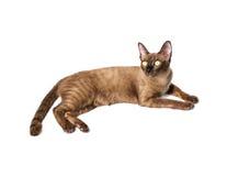 Birmańskiego kota sztandar Obrazy Royalty Free