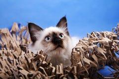 Birma cat. Thinking about something Stock Photo