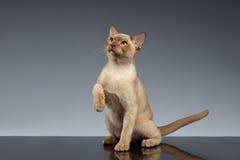 Birma Cat Looking omhoog en opheffend poot op Grijs royalty-vrije stock afbeelding