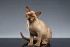 Birma Cat Sits en het Kijken in camera op Grijs Royalty-vrije Stock Afbeeldingen