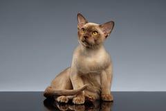 Birma Cat Sits en het Kijken omhoog op Grijs Royalty-vrije Stock Foto's