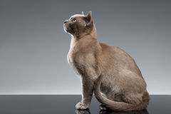 Birma Cat Sits und oben schauen auf grauem Hintergrund Stockfoto