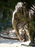Birma der asiatischer Elefant @ Auckland-Zoo Lizenzfreie Stockfotos