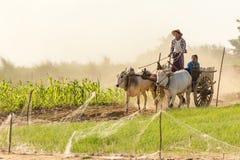 Birmańscy ludzie jedzie oxcart Obraz Stock