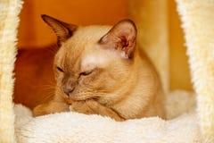 Birma?skiego kota kiciuni koloru czekolada, jest trakenem domowy kot, zapocz?tkowywa w Tajlandia, wierz?cym mie? sw?j korzenie bl zdjęcie stock