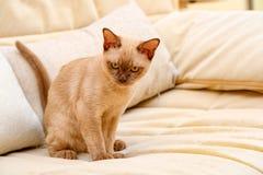 Birma?skiego kota kiciuni koloru czekolada, jest trakenem domowy kot, zapocz?tkowywa w Tajlandia, wierz?cym mie? sw?j korzenie bl zdjęcia stock
