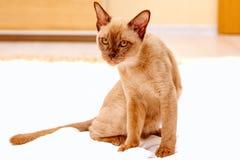 Birma?skiego kota kiciuni koloru czekolada, jest trakenem domowy kot, zapocz?tkowywa w Tajlandia, wierz?cym mie? sw?j korzenie bl zdjęcia royalty free