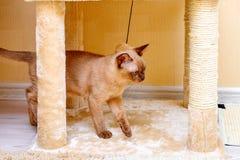 Birma?skiego kota kiciuni koloru czekolada, jest trakenem domowy kot, zapocz?tkowywa w Tajlandia, wierz?cym mie? sw?j korzenie bl obraz stock