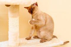 Birma?skiego kota kiciuni koloru czekolada, jest trakenem domowy kot, zapocz?tkowywa w Tajlandia, wierz?cym mie? sw?j korzenie bl fotografia stock