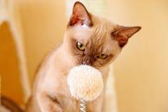 Birma?skiego kota kiciuni koloru czekolada, jest trakenem domowy kot, zapocz?tkowywa w Tajlandia, wierz?cym mie? sw?j korzenie bl obraz royalty free