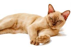 Birma?skiego kota kiciuni koloru czekolada, jest trakenem domowy kot, zapocz?tkowywa w Tajlandia, wierz?cym mie? sw?j korzenie bl obrazy royalty free