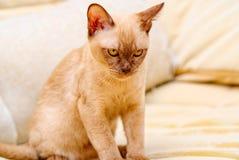 Birma?skiego kota kiciuni koloru czekolada, jest trakenem domowy kot, zapocz?tkowywa w Tajlandia, wierz?cym mie? sw?j korzenie bl fotografia royalty free