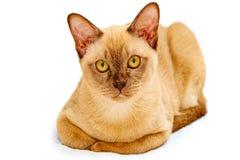 Birma?skiego kota kiciuni koloru czekolada, jest trakenem domowy kot, zapocz?tkowywa w Tajlandia, wierz?cym mie? sw?j korzenie bl obrazy stock