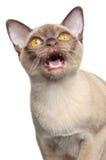 Birmaans de kattenMEWS van de chocolade royalty-vrije stock afbeelding