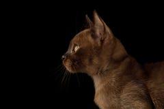 Birmaans Katje op Geïsoleerde Zwarte Achtergrond royalty-vrije stock foto's