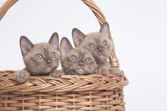 Birmaanse katten in grote mand Royalty-vrije Stock Afbeeldingen