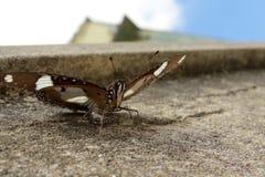Birmaanse vlinder Stock Fotografie