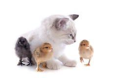 Birman小猫和小鸡 免版税库存图片