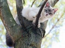 Birman小猫 免版税图库摄影