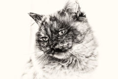 Birman猫凝视白色拷贝空间lef特写镜头  免版税库存图片