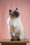 Birman猫坐椅子 免版税库存照片