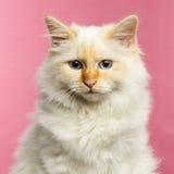 Birman猫的特写镜头, 5个月,在桃红色背景 免版税库存照片