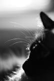 birman猫配置文件 免版税库存照片