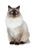 birman кот стоковое фото rf